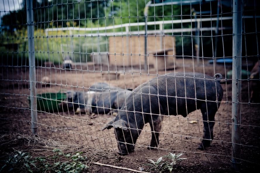 Photo of pig in his pen